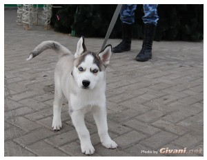 Givani.net - Huskies photo • Хаски фото - Husky