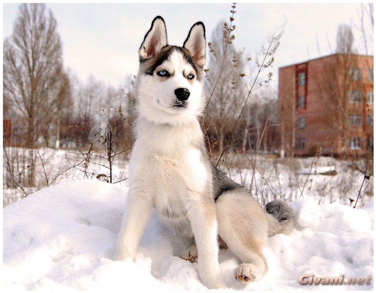 Givani.net - Huskies photo • Хаски фото - Siberian Huskie Photo