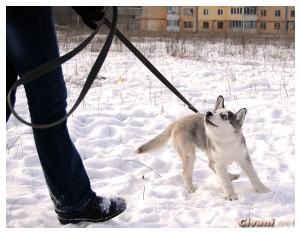 Givani.net - Huskies photo • Хаски фото - Huskie_04