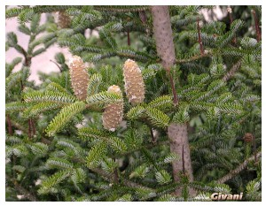 Ukraine photo • Украина фото - Bukovel Ukraine Photo • Буковель фото - Spruce with cones