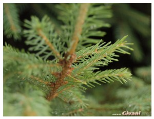Ukraine photo • Украина фото - Bukovel Ukraine Photo • Буковель фото - Spruce after rain