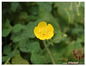 Ukraine photo • Украина фото - Bukovel Ukraine Photo • Буковель фото - Buttercup • Лютик