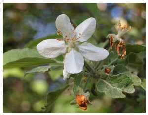 Givani.net - Flowers Photo • Цветы фото - Apple-Flower-Too