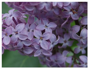 Givani.net - Flowers Photo • Цветы фото - Lilac-Classics-Close-Up