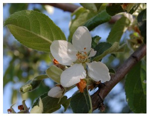 Givani.net - Flowers Photo • Цветы фото - Apple-Flower
