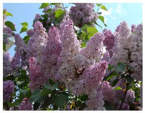 Givani.net - Flowers Photo • Цветы фото - Lilac