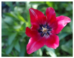 Givani.net - Flowers Photo • Цветы фото - Red-Tulip