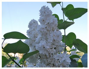 Givani.net - Flowers Photo • Цветы фото - White-Lilac