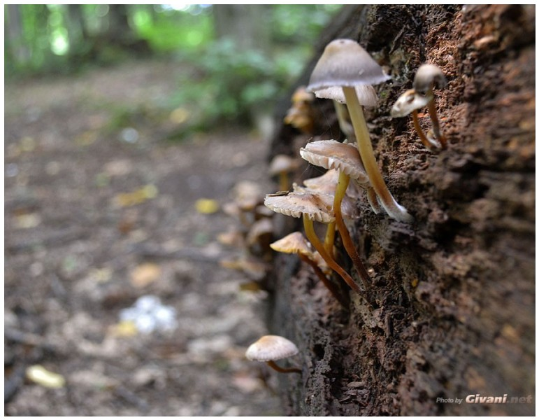 Givani.net - Mushrooms • Грибы - Mushroom-21