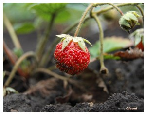 Givani.net - Plants • Растения - Strawberry • Клубника