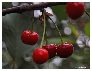 Givani.net - Plants • Растения - Cherry-Dew