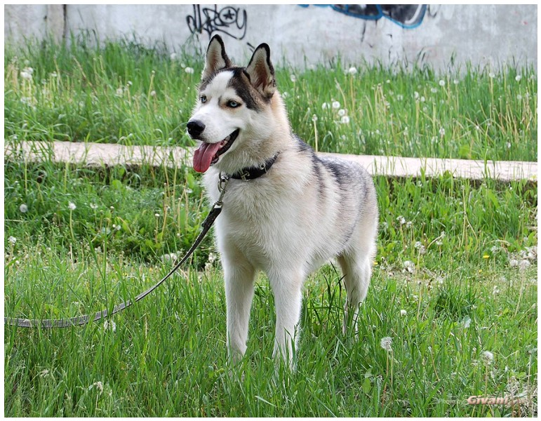 Givani.net - Huskies photo • Хаски фото - Huskies_5